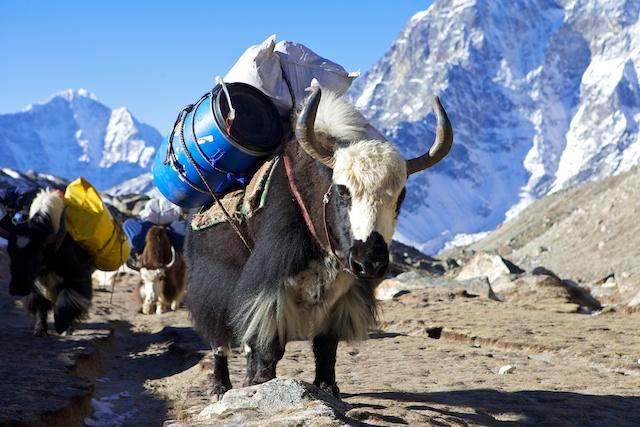 Nichts und niemand transportiert unsere Ausrüstung so zuverlässig wie die Yaks meines Freundes Pemba Dorje Sherpa