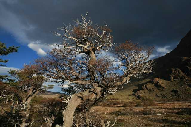 Patagonischer Baum